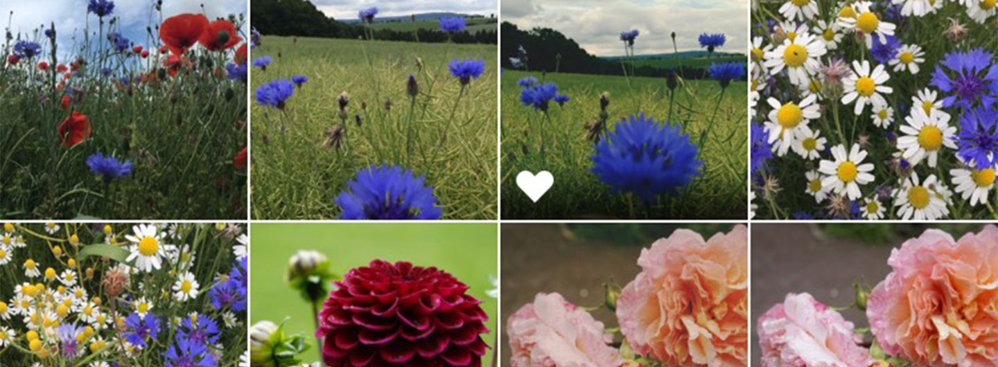Screenshot of album search for flowers in new iOS 10