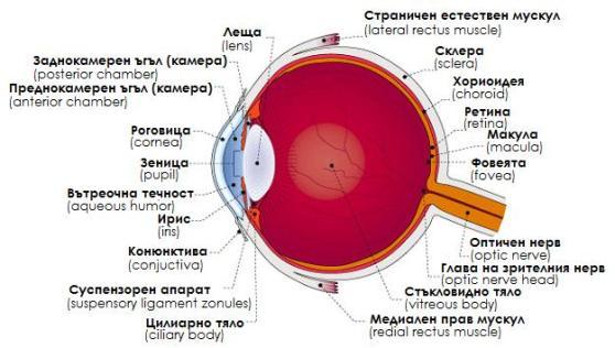 Устройство на окото и фовиа
