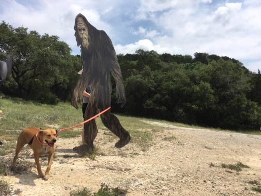 Our dog Abbey went walking with Sasquatch.