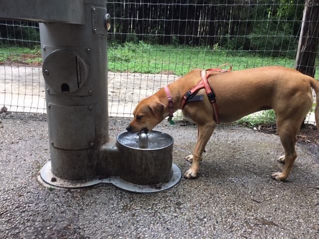 Abbey not only drank from the dog friendly fountain, but had to wash her feet with it as well.
