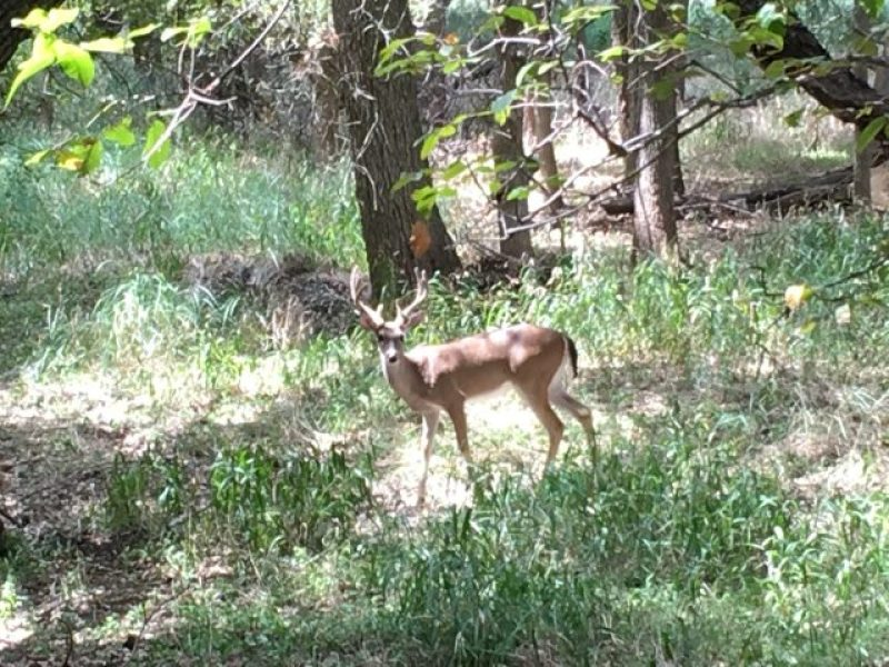 A young buck at McAllister Park in San Antonio.