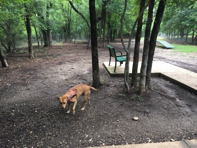Lady Bird Johnson Dog Park was very muddy and Abbey does not look impressed.
