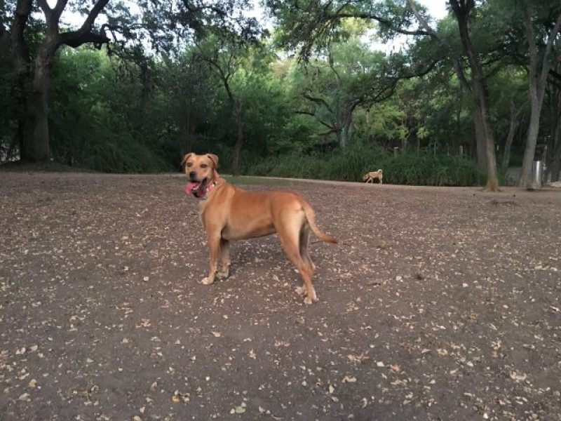Abbey is well shaded at the Bark Park, but it is dry and dirty.