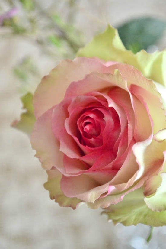 cabbage-rose