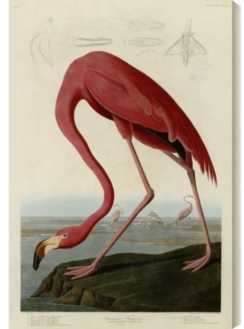 Gallery-Direct-American-Flamingo-by-John-James-Audubon-Painting-Print-on-Wrapped-Canvas-GALD1847