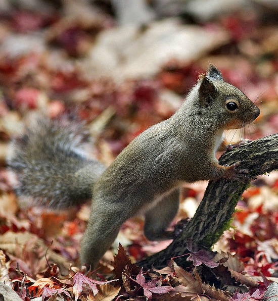 squirrel-fall-leaves