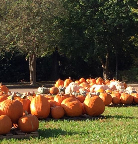 pumpkin=patch=Wednesday