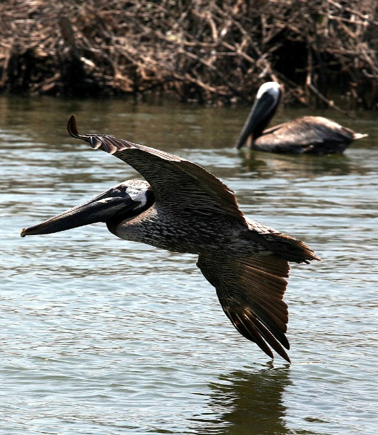 Flying_pelican_grand_bay