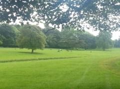 Deer in Raby's Parkland