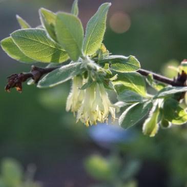 Haskaps in Bloom