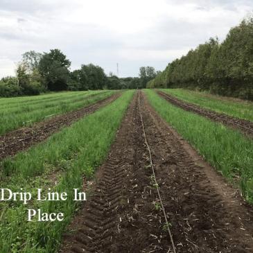 Installing Drip Line Irrigation