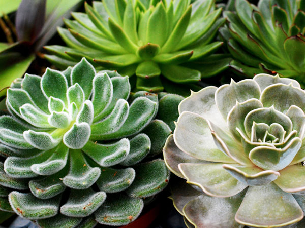 plainview-growers-pure-succulents-pearls