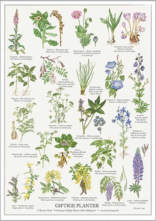 Giftige Planter -Kirsrten Lind