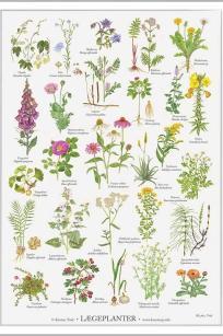 Lægeplanter Kirsten tind
