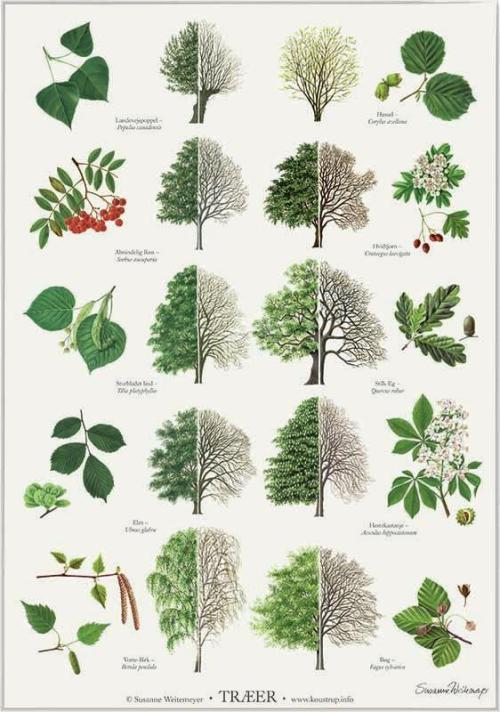 Træer - nogle af Danmarks mest almindelige træer.