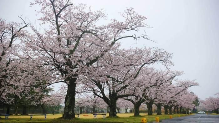 桜だらけの散策コース、オススメ桜スポットをご案内!!