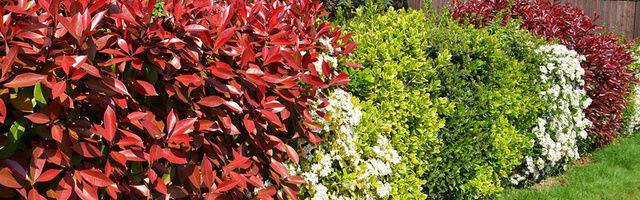 haies d arbustes avec des boutures