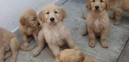 El Negocio de la Venta de Cachorros