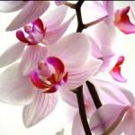 Orquídea: seu formato exótico é o charme