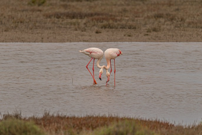 two pink flamingos in marshy water in Camargue, France making the shape of a heart.