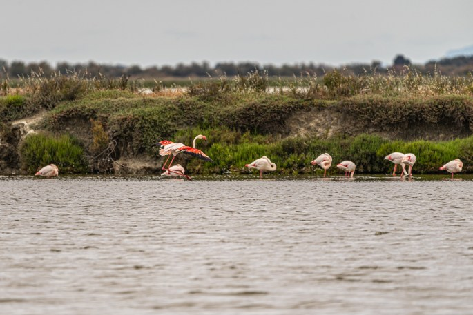 a flock of pink flamingos in marshy water in Camargue, France.