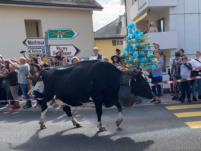 alpine cow at la desalpe festival in blonay, switzerland