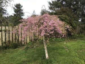 Cherry blossom hint at White Peony Tea