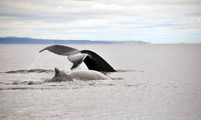 Tadoussac: baleine à bosse 8