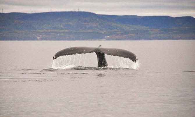 Tadoussac: baleine à bosse 10