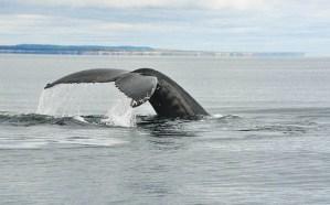 Ma rencontre avec les baleines de Tadoussac
