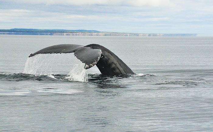 Baleine Tadoussac