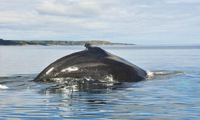 Tadoussac: baleine à bosse 5
