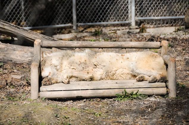 Conservation du loup gris au Canada
