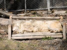 Loups Canada