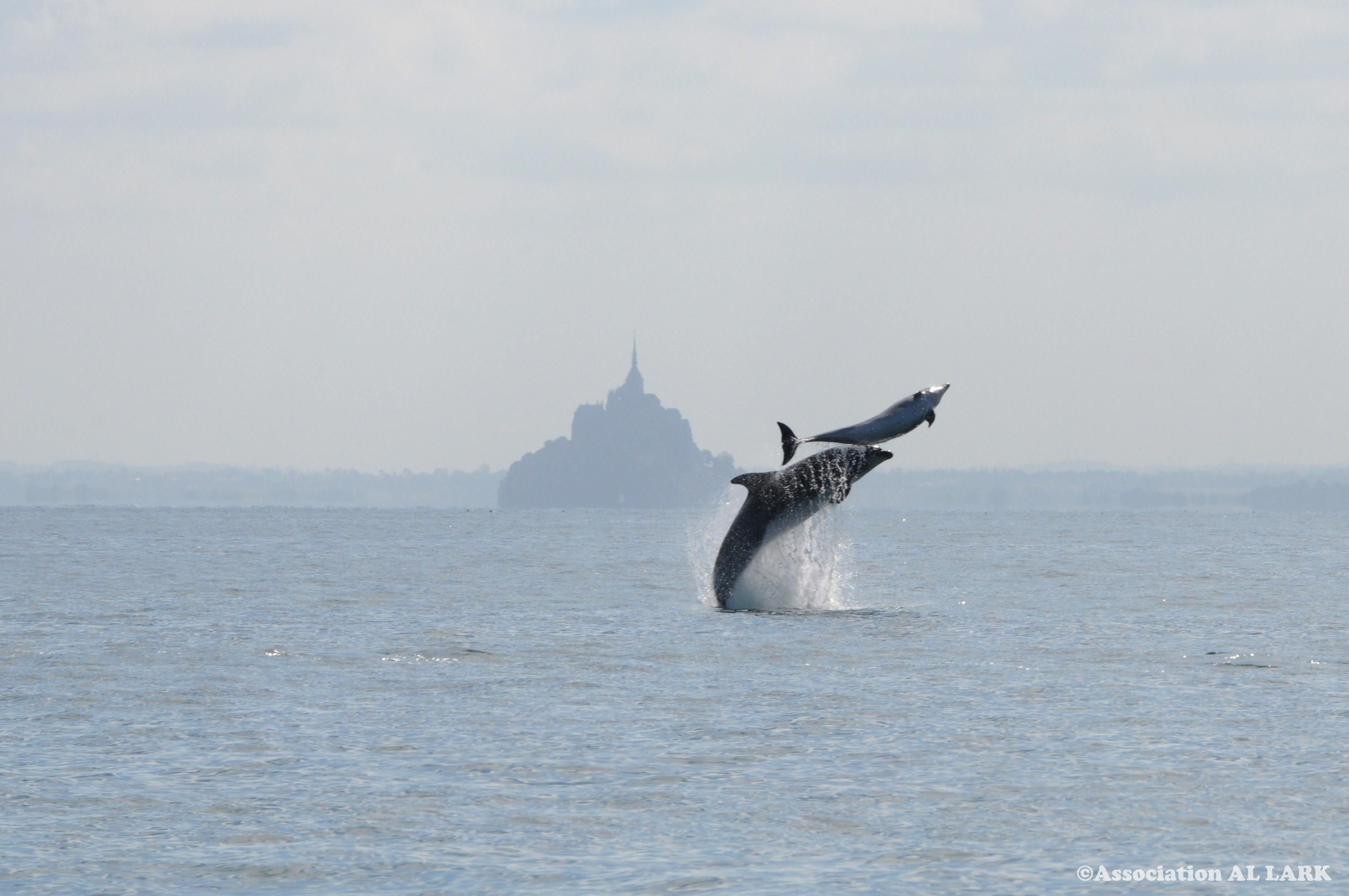 You are currently viewing Voir des Dauphins en Bretagne avec Al-Lark