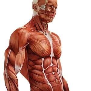 Características das fibras musculares tipo 1 e 2