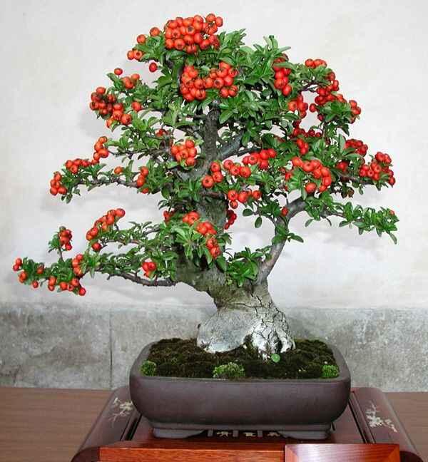 Bonsai árvore vermelha e o tempo de cultivo e de preparo