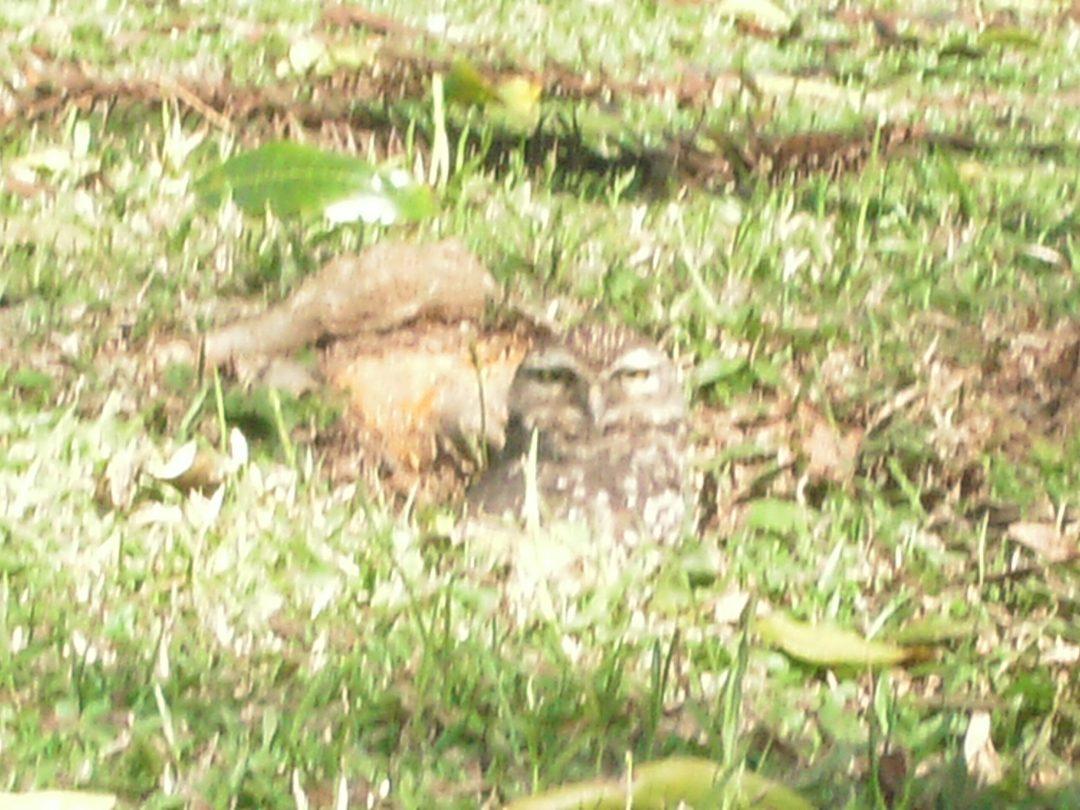 Coruja do Parque São Lourenço em Curitiba olhando de frente olho no olho