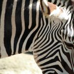Zebra by Travel Photographer represents Ehlers Danlos Syndrome