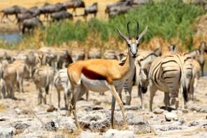 Springbok at a waterhole
