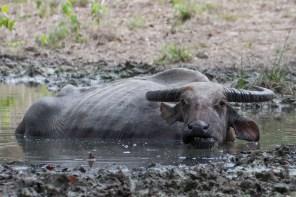 Komodo attacks buffalo