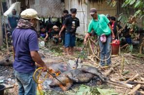 tana toraja pig sacrifice