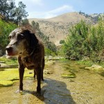 old chocolate Labrador in creek