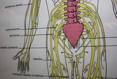iliohypogastric nerve and other nerves on chart