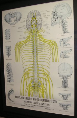 nerve distribution spinal cord spinal nerves brain classic poster