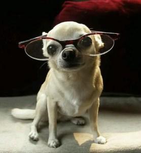 Chihuahua intelligence
