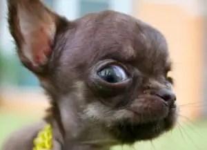 Chihuahua eyes