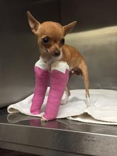 Chihuahua bone muscle diseases