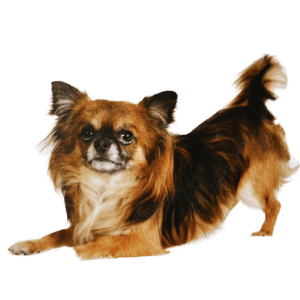 Chihuahua temperament lively