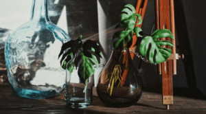 monstera propagating in water